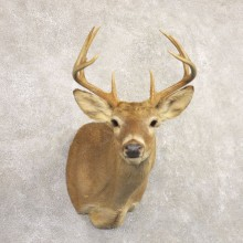 Whitetail Deer Shoulder Mount #22163 For Sale - The Taxidermy Store