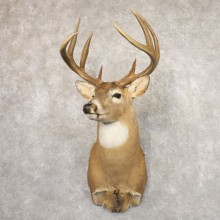 Whitetail Deer Shoulder Mount #22174 For Sale - The Taxidermy Store
