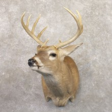 Whitetail Deer Shoulder Mount #22179 For Sale - The Taxidermy Store