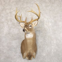 Whitetail Deer Shoulder Mount #22184 For Sale - The Taxidermy Store