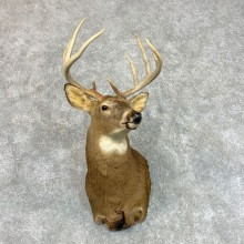 Whitetail Deer Shoulder Mount #22794 For Sale - The Taxidermy Store