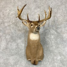 Whitetail Deer Shoulder Mount #22798 For Sale - The Taxidermy Store