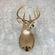 Whitetail Deer Shoulder Mount #22800 For Sale - The Taxidermy Store