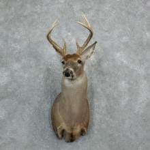 Whitetail Deer Shoulder Mount For Sale #18277 @ The Taxidermy Store