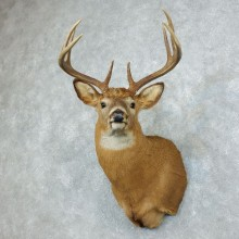 Whitetail Deer Shoulder Mount For Sale #18505 @ The Taxidermy Store