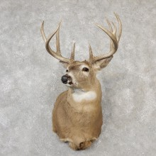 Whitetail Deer Shoulder Mount For Sale #19092 @ The Taxidermy Store