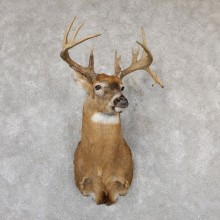 Whitetail Deer Shoulder Mount For Sale #19299 @ The Taxidermy Store