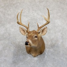 Whitetail Deer Shoulder Mount For Sale #19533 @ The Taxidermy Store