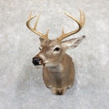 Whitetail Deer Shoulder Mount For Sale #19538 @ The Taxidermy Store