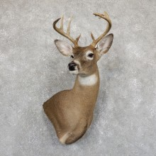 Whitetail Deer Shoulder Mount For Sale #19540 @ The Taxidermy Store