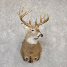 Whitetail Deer Shoulder Mount For Sale #19998 @ The Taxidermy Store