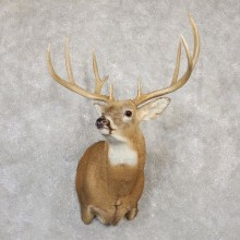 Whitetail Deer Shoulder Mount For Sale #20000 @ The Taxidermy Store