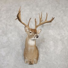 Whitetail Deer Shoulder Mount For Sale #20007 @ The Taxidermy Store