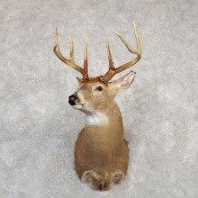 Whitetail Deer Shoulder Mount For Sale #20008 @ The Taxidermy Store