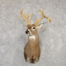 Whitetail Deer Shoulder Mount For Sale #20009 @ The Taxidermy Store