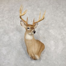 Whitetail Deer Shoulder Mount For Sale #20010 @ The Taxidermy Store