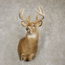 Whitetail Deer Shoulder Mount For Sale #20434 @ The Taxidermy Store