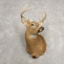 Whitetail Deer Shoulder Mount For Sale #20481 @ The Taxidermy Store