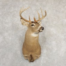 Whitetail Deer Shoulder Mount For Sale #20824 @ The Taxidermy Store