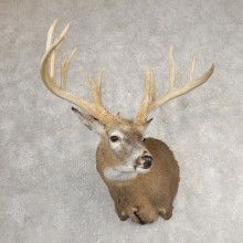 Whitetail Deer Shoulder Mount For Sale #21067 @ The Taxidermy Store