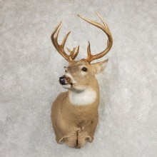 Whitetail Deer Shoulder Mount For Sale #21080 @ The Taxidermy Store
