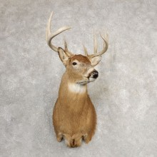 Whitetail Deer Shoulder Mount For Sale #21082 @ The Taxidermy Store