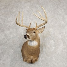 Whitetail Deer Shoulder Mount For Sale #21083 @ The Taxidermy Store