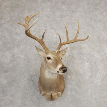 Whitetail Deer Shoulder Mount For Sale #21085 @ The Taxidermy Store
