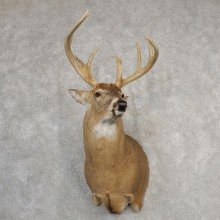 Whitetail Deer Shoulder Mount For Sale #21091 @ The Taxidermy Store