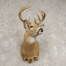 Whitetail Deer Shoulder Mount For Sale #21580 @ The Taxidermy Store