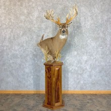 Whitetail Deer Shoulder Floor Pedestal Taxidermy Mount For Sale