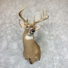 Whitetail Deer Shoulder Mount For Sale #22981 @ The Taxidermy Store