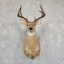 Whitetail Deer Shoulder Mount #Whitetail Deer Shoulder Mount #19550 For Sale @ The Taxidermy Store