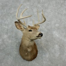 Whitetail Deer Shoulder Taxidermy Head Mount #18094 For Sale @ The Taxidermy Store
