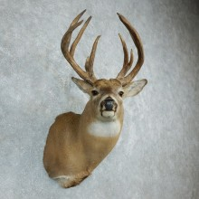 Whitetail Deer Shoulder Taxidermy Mount For Sale #18501 @ The Taxidermy Store.jpg