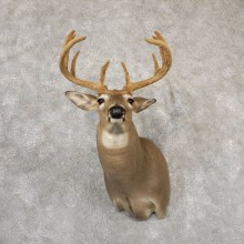 Whitetail Deer Shoulder Taxidermy Mount For Sale #18854 @ The Taxidermy Store.jpg