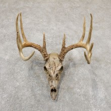 Whitetail Deer Skull Antler European Mount For Sale #18935 @ The Taxidermy Store