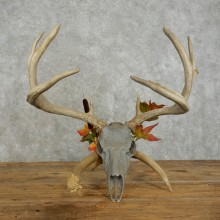 Whitetail Deer Skull European Mount For Sale #17392 @ The Taxidermy Store