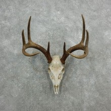 Whitetail Deer Skull European Mount For Sale #18090 @ The Taxidermy Store