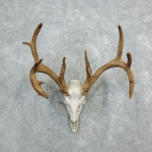 Whitetail Deer Skull European Mount For Sale #18318 @ The Taxidermy Store