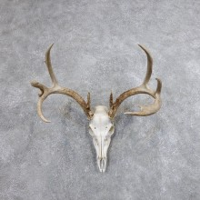 Whitetail Deer Skull European Mount For Sale #18699 @ The Taxidermy Store