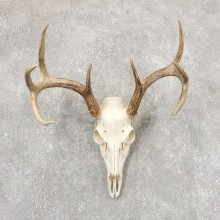 Whitetail Deer Skull European Mount For Sale #18914 @ The Taxidermy Store