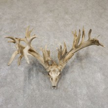 Whitetail Deer Skull European Mount For Sale #18929 @ The Taxidermy Store