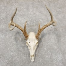 Whitetail Deer Skull European Mount For Sale #18934 @ The Taxidermy Store