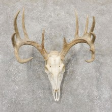 Whitetail Deer Skull European Mount For Sale #18941 @ The Taxidermy Store