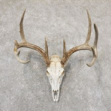 Whitetail Deer Skull European Mount For Sale #18943 @ The Taxidermy Store