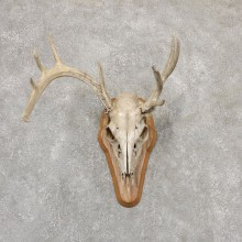 Whitetail Deer Skull European Mount For Sale #18953 @ The Taxidermy Store