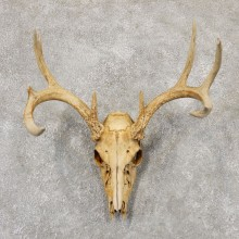 Whitetail Deer Skull European Mount For Sale #18955 @ The Taxidermy Store