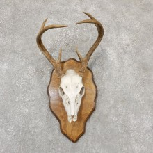 Whitetail Deer Skull European Mount For Sale #18957 @ The Taxidermy Store
