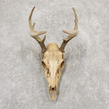 Whitetail Deer Skull European Mount For Sale #18962 @ The Taxidermy Store